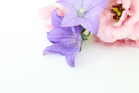 トルコキキョウとキキョウの写真素材 [FYI02908529]