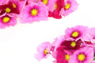 コスモスの花束の写真素材 [FYI02908531]
