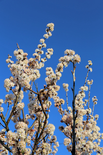 さくらんぼの花の写真素材 [FYI02908554]