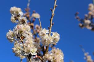 さくらんぼの花の写真素材 [FYI02908556]