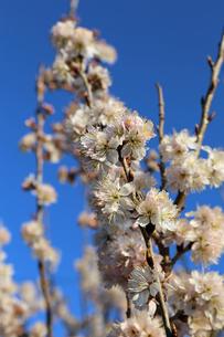 さくらんぼの花の写真素材 [FYI02908557]