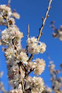 さくらんぼの花の写真素材 [FYI02908558]