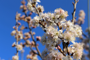 さくらんぼの花の写真素材 [FYI02908559]