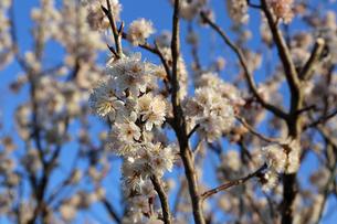 さくらんぼの花の写真素材 [FYI02908560]