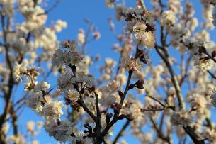 さくらんぼの花の写真素材 [FYI02908561]