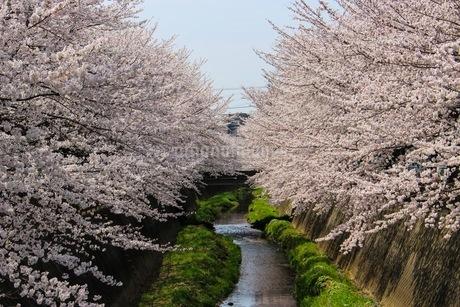 桜並木と川の春の風景の写真素材 [FYI02910572]