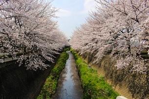 桜並木と川の春の風景の写真素材 [FYI02910579]