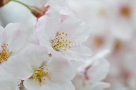 桜の写真素材 [FYI02910792]