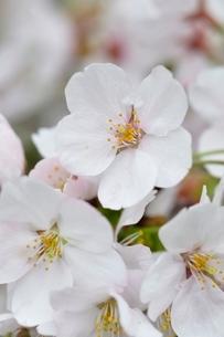 桜の写真素材 [FYI02910793]