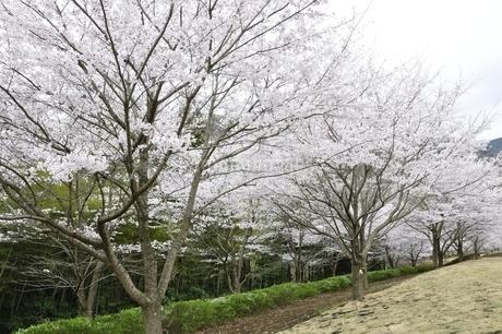 桜の写真素材 [FYI02910801]