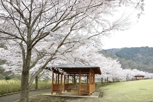 桜の写真素材 [FYI02910803]