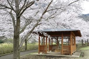 桜の写真素材 [FYI02910805]
