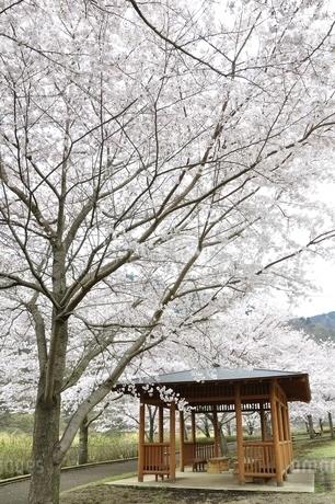 桜の写真素材 [FYI02910806]