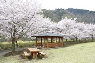 桜の写真素材 [FYI02910808]