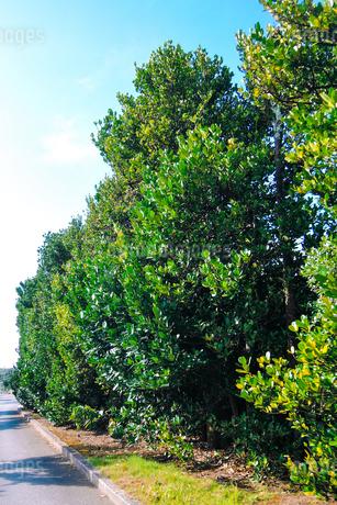 チュラフクギ(フクギ並木) 久米島(沖縄県)の観光名所や絶景ポイントの写真素材 [FYI02910809]
