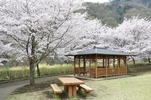 桜の写真素材 [FYI02910810]