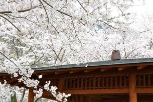 桜の写真素材 [FYI02910812]
