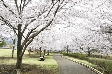 桜の写真素材 [FYI02910813]
