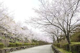 桜の写真素材 [FYI02910815]