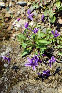 すみれの花の写真素材 [FYI02910830]