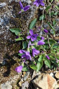 すみれの花の写真素材 [FYI02910838]