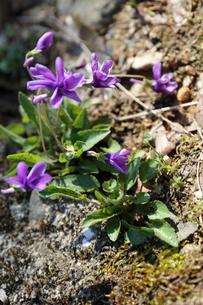 すみれの花の写真素材 [FYI02910844]