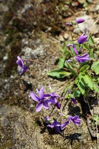 すみれの花の写真素材 [FYI02910850]