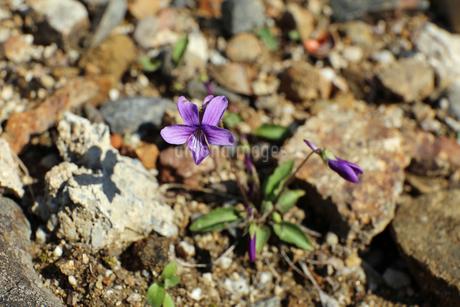 すみれの花の写真素材 [FYI02910852]