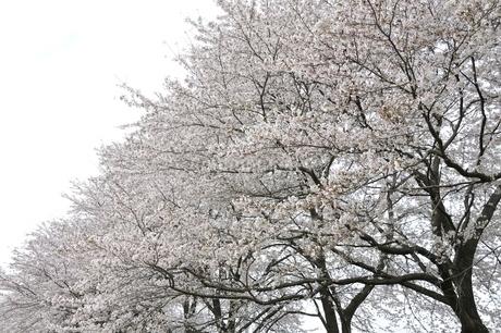 満開の桜並木の写真素材 [FYI02910865]