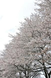 満開の桜並木の写真素材 [FYI02910867]
