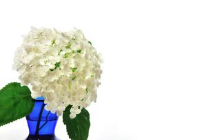青い花瓶に入った白い紫陽花の写真素材 [FYI02914916]