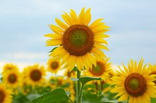 青空を背景に咲くひまわりの写真素材 [FYI02914930]