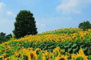 青空を背景に広がるひまわり畑の写真素材 [FYI02914934]