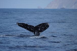 母島のザトウクジラの写真素材 [FYI02915053]