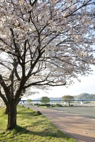 相模川 桜咲く散歩道の写真素材 [FYI02915086]