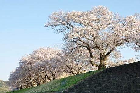 桜並木の写真素材 [FYI02915087]