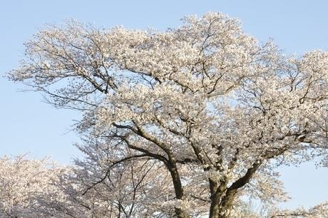 桜並木の写真素材 [FYI02915088]