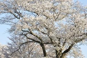 桜並木の写真素材 [FYI02915089]