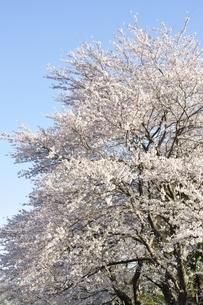 桜並木の写真素材 [FYI02915090]