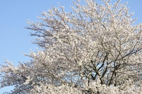 桜並木の写真素材 [FYI02915091]