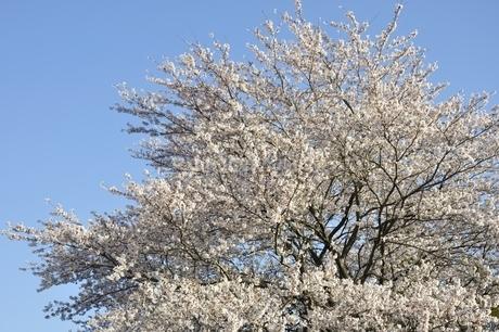 桜並木の写真素材 [FYI02915092]