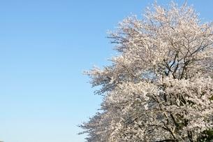 桜並木の写真素材 [FYI02915093]