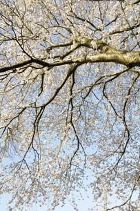 桜並木の写真素材 [FYI02915094]