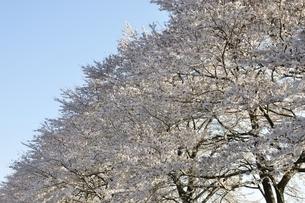 桜並木の写真素材 [FYI02915095]