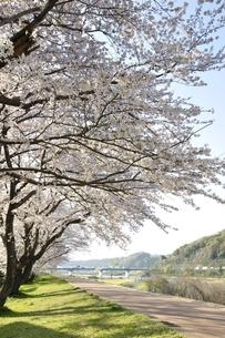 相模川 桜咲く散歩道の写真素材 [FYI02915097]