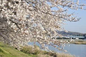 川岸に咲く桜の写真素材 [FYI02915120]