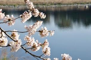 桜咲く河岸の写真素材 [FYI02915128]