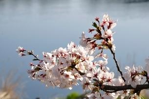 桜咲く河岸の写真素材 [FYI02915130]