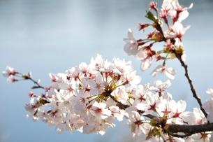 桜咲く河岸の写真素材 [FYI02915131]