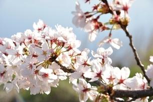 桜咲く河岸の写真素材 [FYI02915132]
